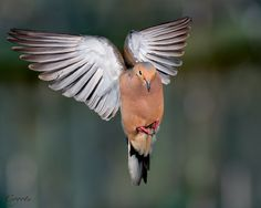 Mourning Dove clipart dove flying #15