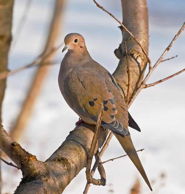 Mourning Dove clipart dove hunting #12