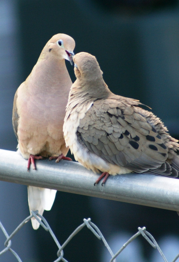 Mourning Dove clipart easy On Dove more images Pinterest