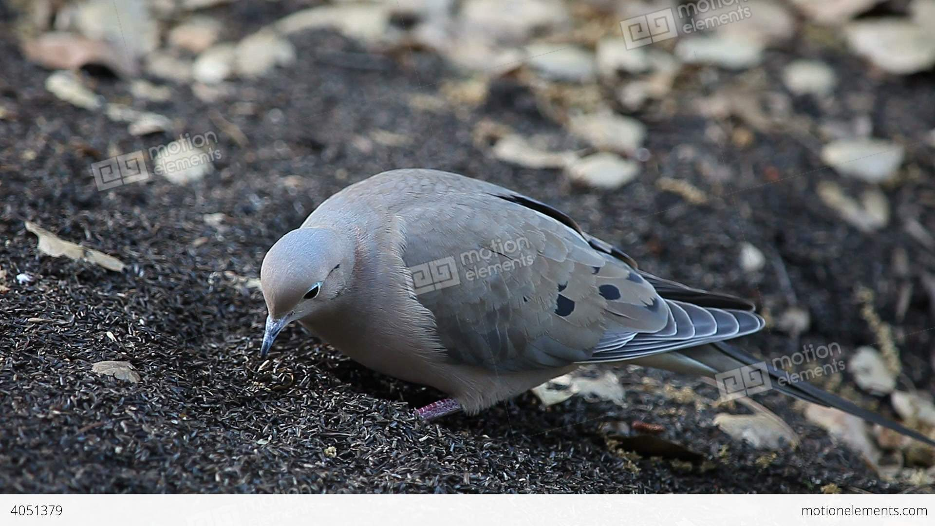 Mourning Dove clipart easy Stock Free Seeds seeds Video