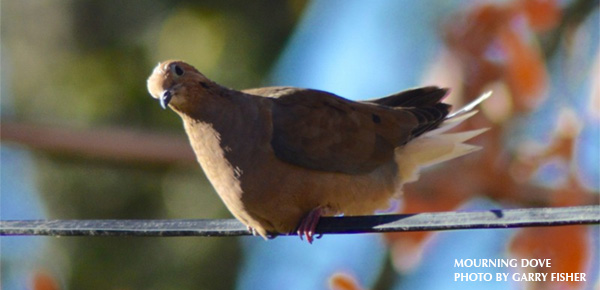 Mourning Dove clipart easy The all tail for named