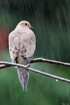 Mourning Dove clipart faith A mourning This Please deviantART