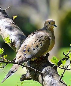 Mourning Dove clipart faith Read Symbolizes Mourning a to