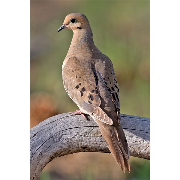 Mourning Dove clipart faith On the 87 loss the