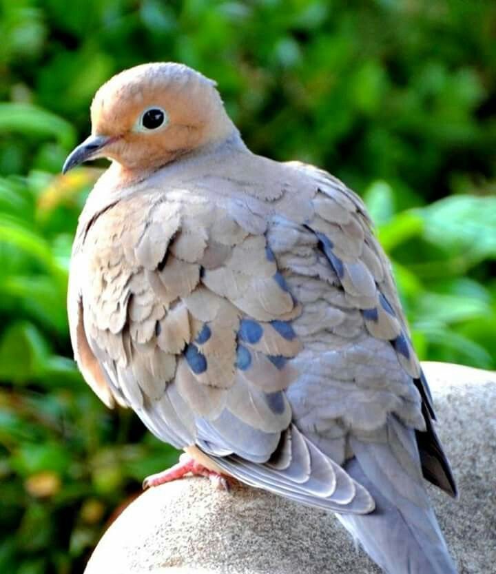 Mourning Dove clipart faith Mourning Pinterest on Pigeons &