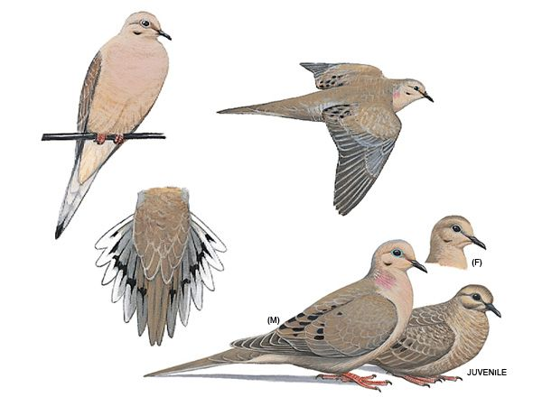 Mourning Dove clipart faith Mourning on images best Dove