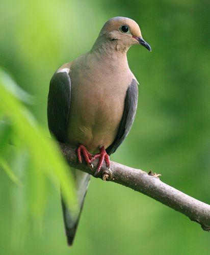 Mourning Dove clipart faith Omen on Doves Mourning 87