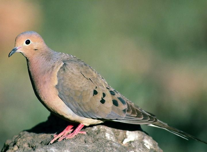 Mourning Dove clipart faith Mourning Songs meilleures Les Commons
