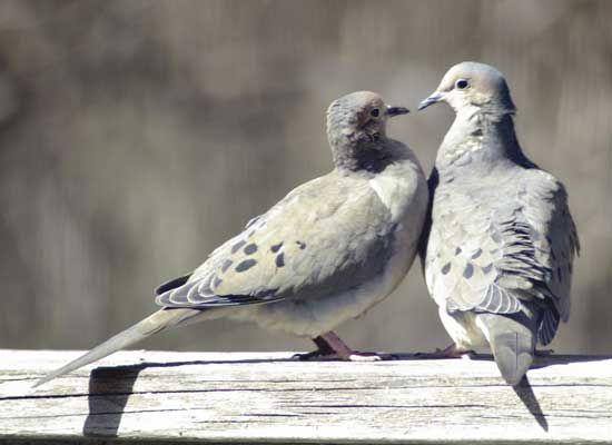 Mourning Dove clipart faith Mourning Pinterest images Dove 142