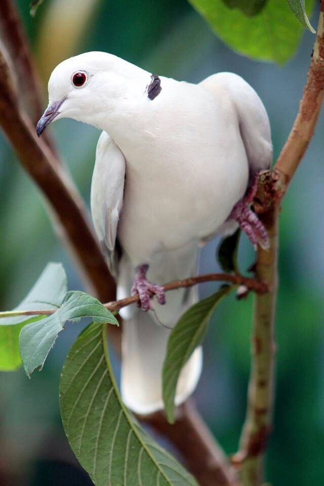 Turtle Dove clipart lovely bird #8