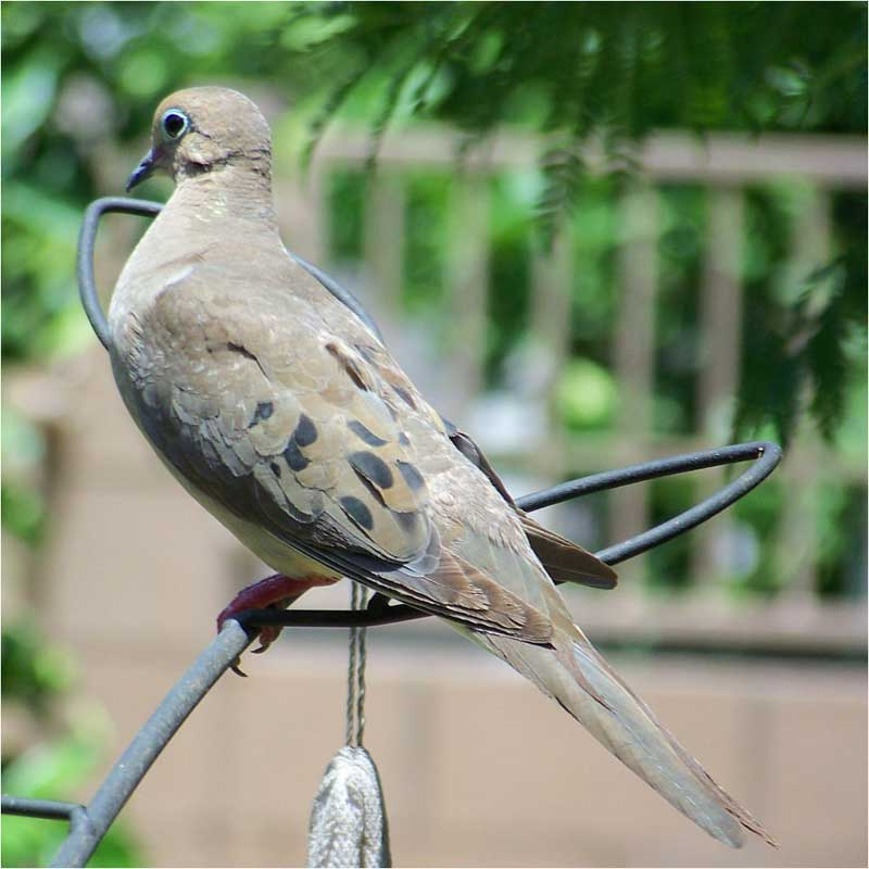 Mourning Dove clipart funeral home Mourning Dove Central Dove