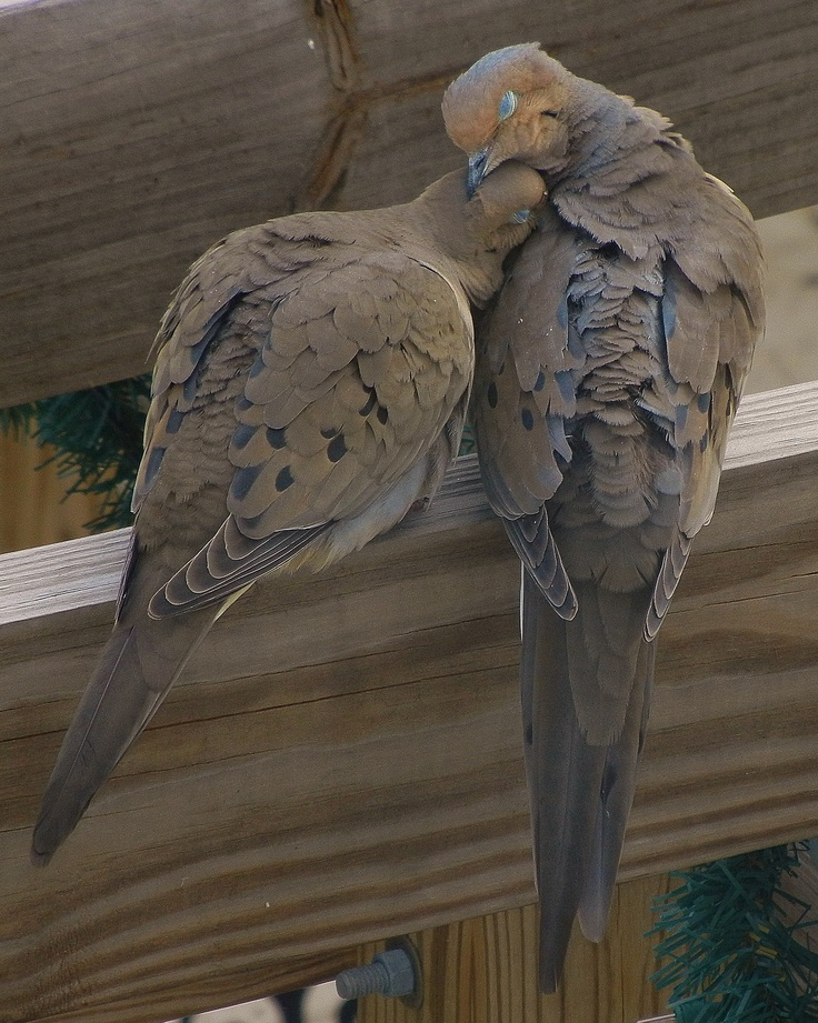 Mourning Dove clipart funeral home Love Doves 98 in Pinterest
