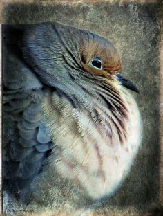 Mourning Dove clipart funeral home Love doves  mate colouring