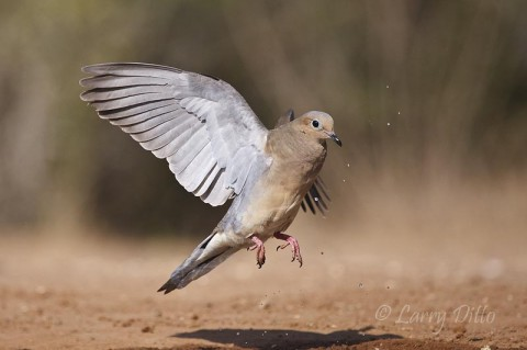 Mourning Dove clipart funeral home Pin Pin Pinterest by Next
