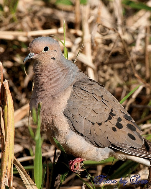 Mourning Dove clipart funeral home Mourning best Pinterest Photo male