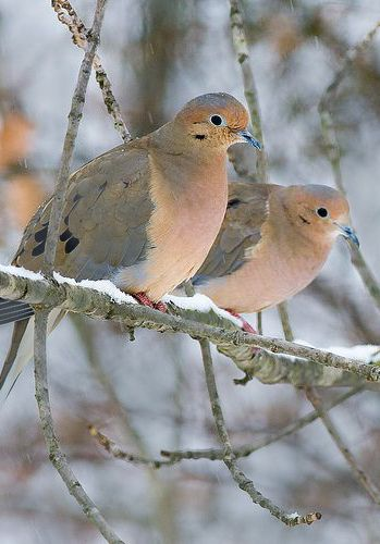 Mourning Dove clipart funeral home I cream all ideas year