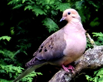 Mourning Dove clipart indian engagement Etsy Mourning of Bird Photography