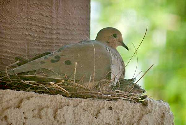 Mourning Dove clipart leave #2