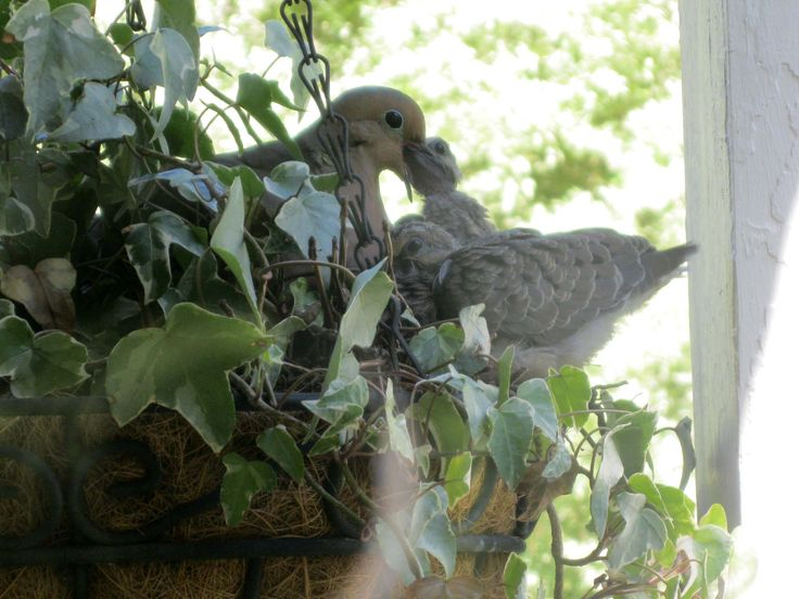 Mourning Dove clipart leave #9