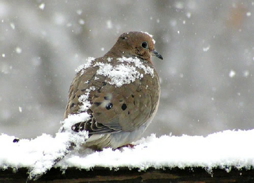 Mourning Dove clipart leave #6
