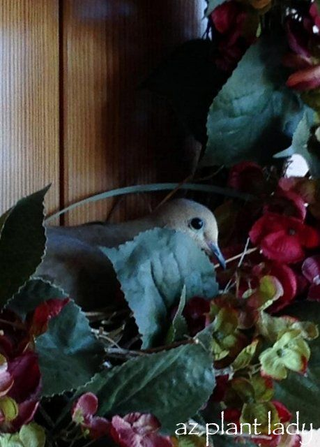 Mourning Dove clipart leave #15