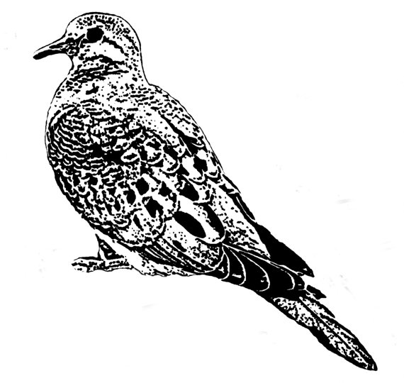 Mourning Dove clipart line drawing Dove white on background jpg