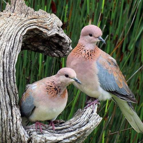 Mourning Dove clipart lovebird Pin Dove and best Dove