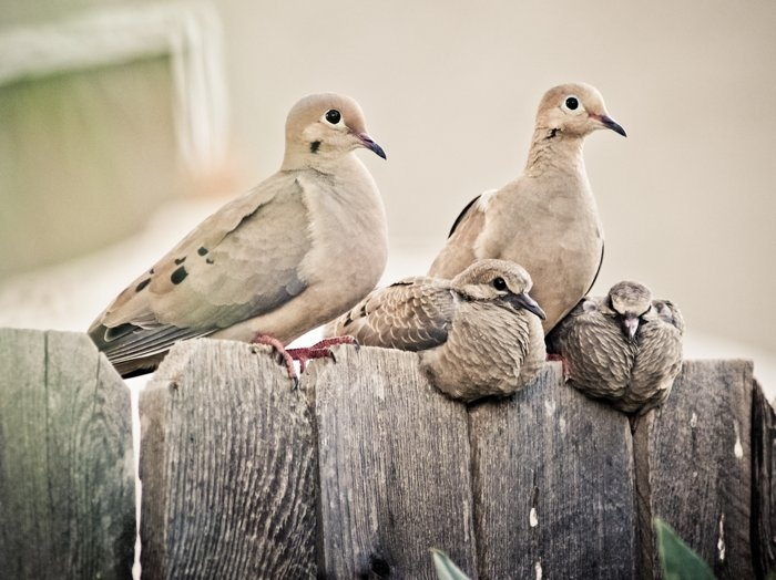 Mourning Dove clipart lovebird Love and Birds on images