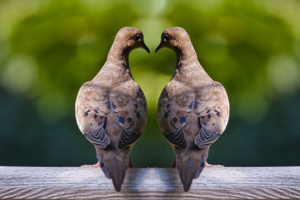 Mourning Dove clipart lovebird Two Wallpapers13 Birds Two Doves