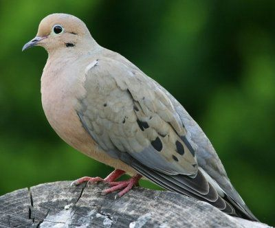 Mourning Dove clipart lovebird Pin Doves and Mourning images