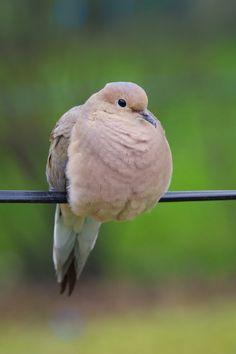 Turtle Dove clipart lovely bird #11