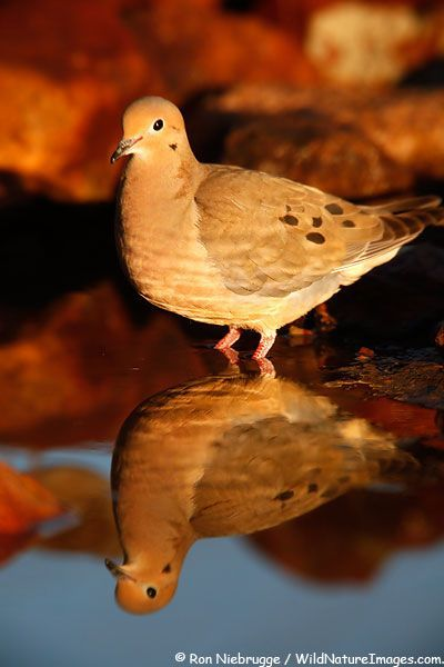 Mourning Dove clipart pigeon flying Found Laughing White com arizona
