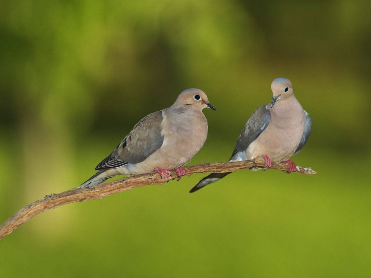 Mourning Dove clipart pigeon flying Pair  Doves images White