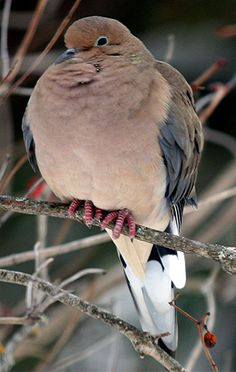 Mourning Dove clipart pigeon flying Planet A morning · (This