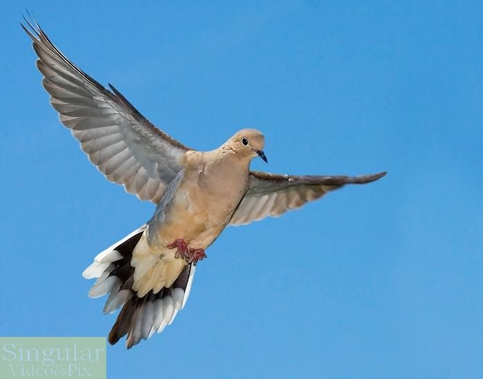 Mourning Dove clipart pigeon flying Mourning flight Mourning images 26