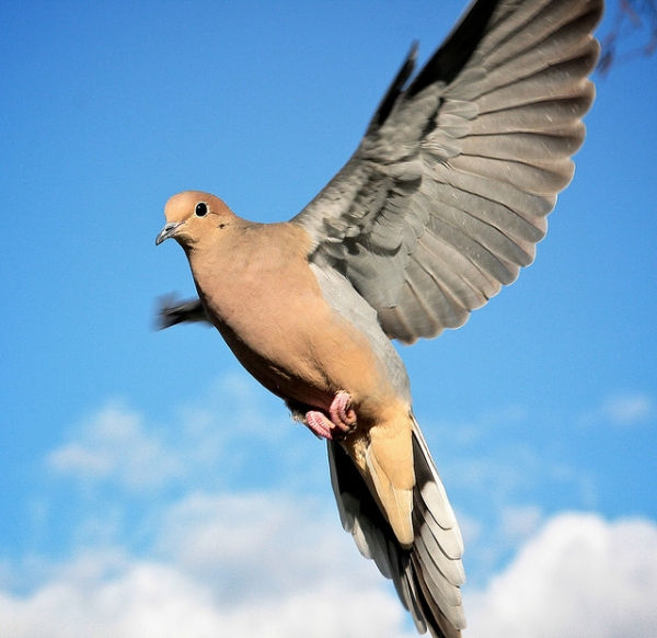 Mourning Dove clipart pigeon flying Dove Birds  Pictures SloDive