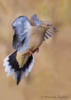 Mourning Dove clipart pigeon flying Mourning macroura) Our dove 1