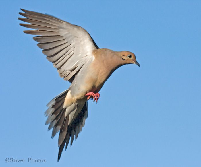 Mourning Dove clipart pigeon flying Mourning landing 37 wings an