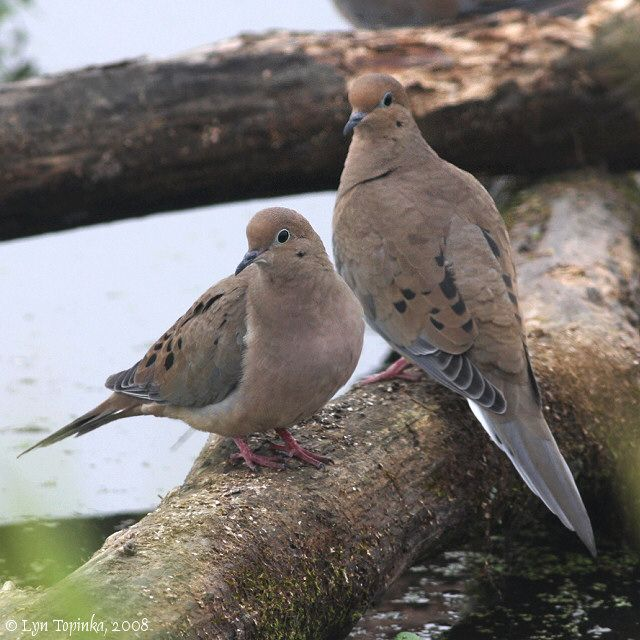 Mourning Dove clipart easy Where on 01 175 Doves