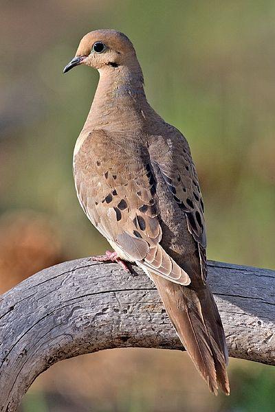 Turtle Dove clipart lovely bird #1