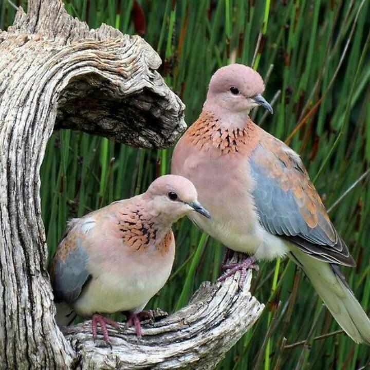 Sweet best Pinterest  Doves