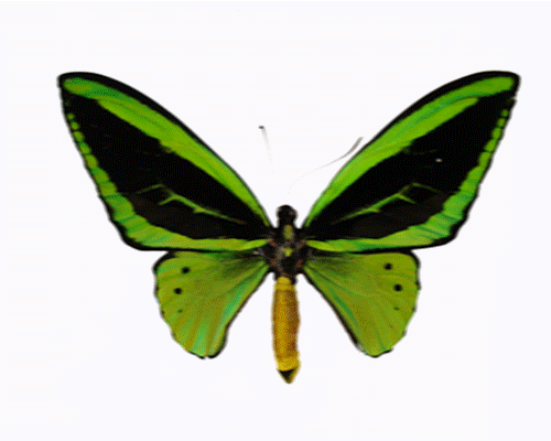 Moving clipart butterfly Clipart animated Cliparting butterfly Clipart
