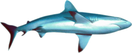Moving clipart shark Free Clip Shark Animated Download