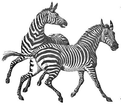 Moving clipart zebra #2