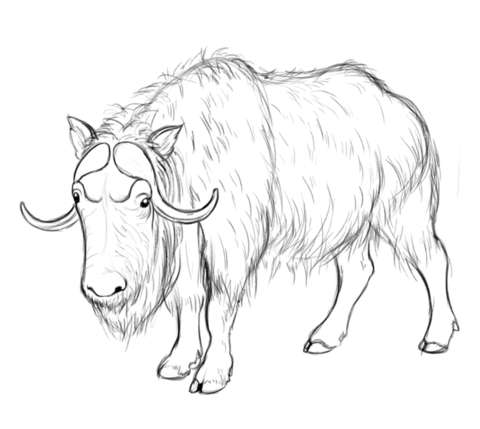 Muskox clipart outline Coloring ox pages Pages Musk