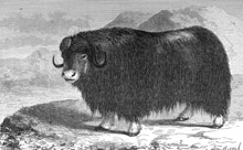 Muskox clipart outline Results Animals Clipart Results Graphics