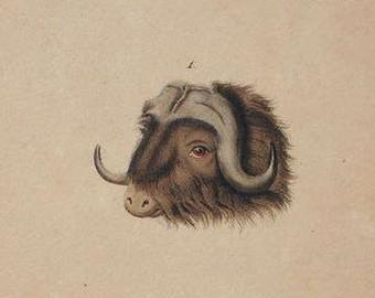 Muskox clipart treasure Ox Bull Buffon 1833 Original