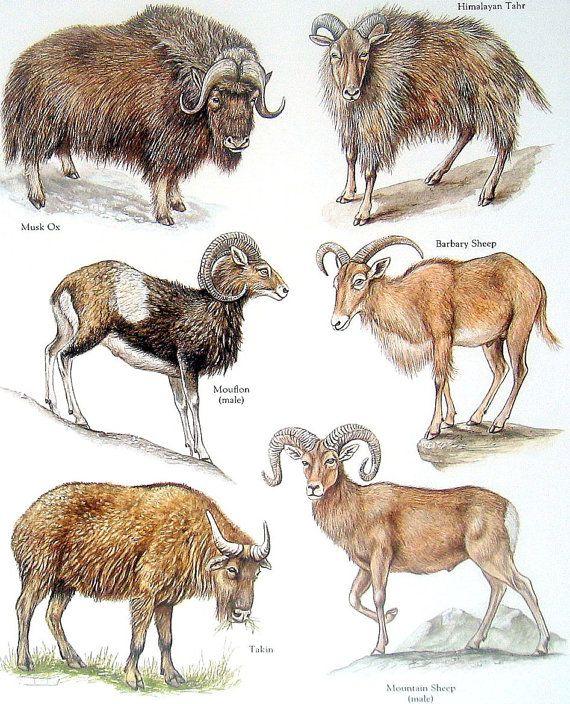 Muskox clipart treasure Ox Mountain Sheep Bovids Ox