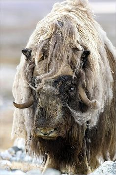 Muskox clipart treasure The We  Alaska They