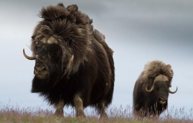 Muskox clipart treasure Primarily Arctic in the live